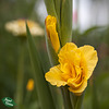 100/365: Yellow Gladiolus