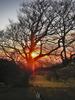 Beech tree + 1 dog at sunset