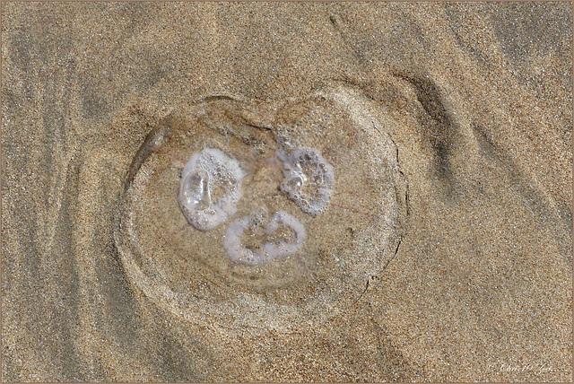 Common jellyfish ~ Oorkwal (Aurelia aurita) did me smile ^-^