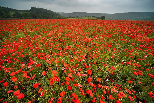 Strolling through the poppy field... 'Moss valley'