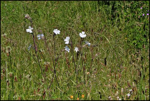 Silene latifolia (4)