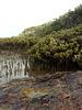 Corner Inlet mangroves