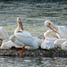American White Pelicans on the Bow River