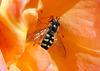Schwebfliege in einer Tulpenblüte