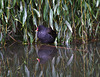 Moorhen And Willow