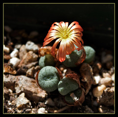 Conophytum aureum x velutinum