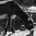 Sogar für Esel zu heiß und zu trocken - Even for donkeys too hot and too dry