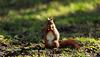 Ecureuil du matin à la recherche de son repas...