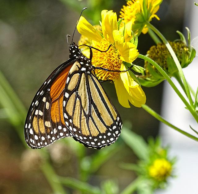 (Danaus plexippus)Monarch Saturday ! ~ Monarch butterfly 10-10-2015