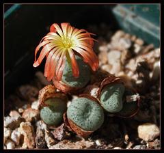 Conophytum auriflorum x velutinum (6)