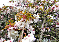 Branches of Blossom.