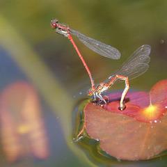 verpaarte Libellen bei der Eiablage