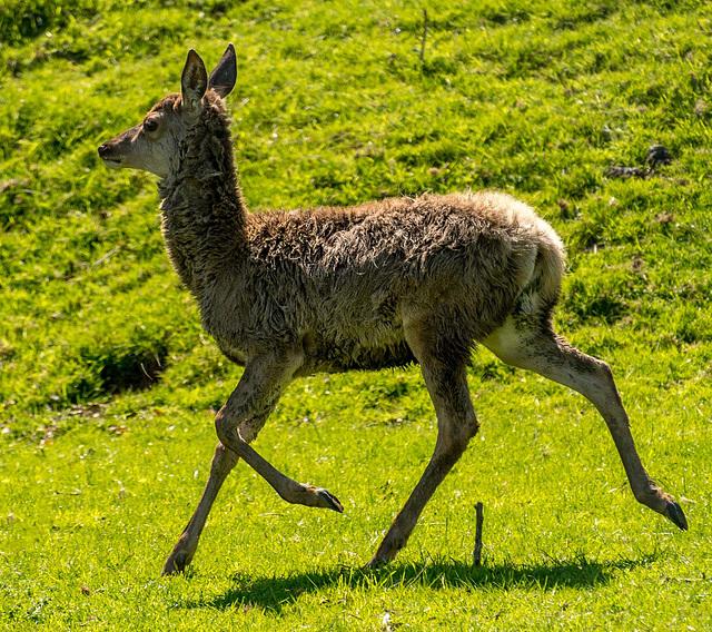 Red deer73