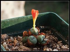 Conophytum auriflorum x velutinum