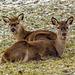 Red deers ..