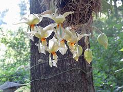 Stanhopea flowers