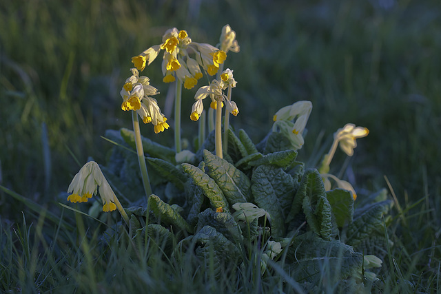 Cowslips at sunset