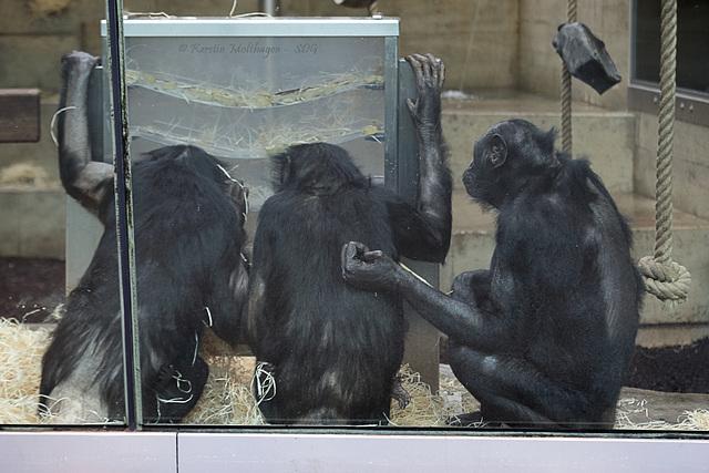 Drei Affen, ein Gedanke (Wilhelma)