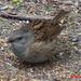 Dunnock (Prunella modularis) Hedge Accentor Hedge Sparrow Hedge Warbler 04 A13