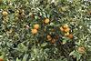Fresh Oranges – Moshav Beit Hillel, Upper Galilee, Israel