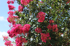 From our garden.... Red Crepe Myrtle   6-2020