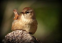 Une beauté au naturelle de même pas 10 cm et de pas plus de 8 grammes, un des plus petits passereaux du vieux continent