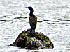 Cormorant on Rock.