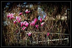 HFF - Magnolia liliiflora