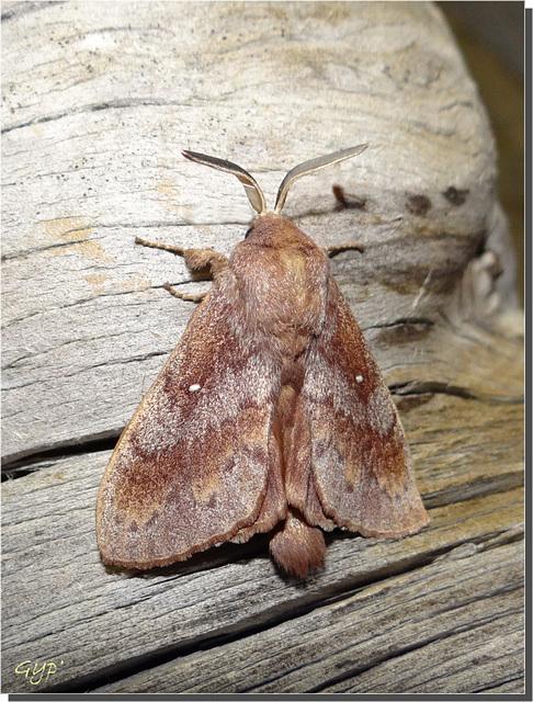 Dendrolimus pini - mâle.