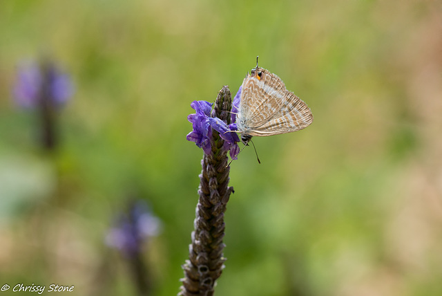 Long Tailed Blue Side View