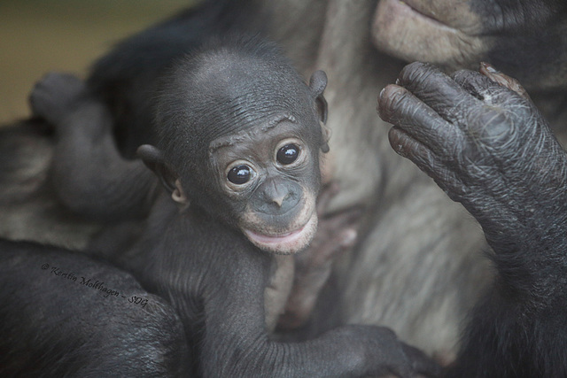Bonobobaby Makasi (Wilhelma)