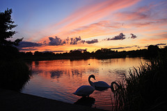 Swan  Sunset on Lynch Lake .... for Sarah O'