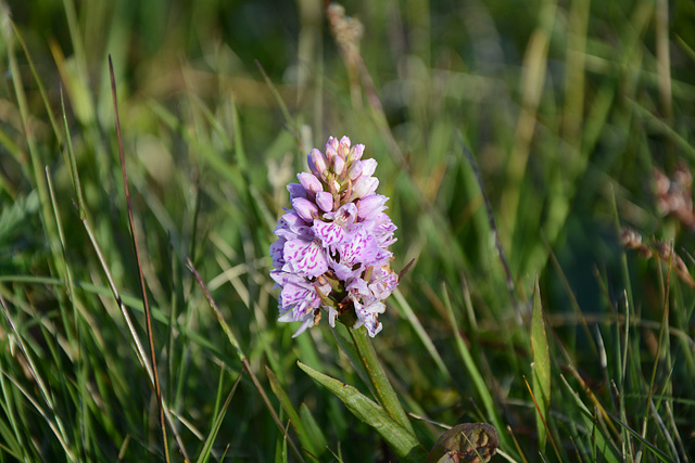 Norway, Lofoten Islands, Northern Summer Flower
