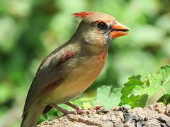 Day 6, Cardinal female / Cardinalis cardinalis