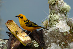 Golden Tanager EF7A5002