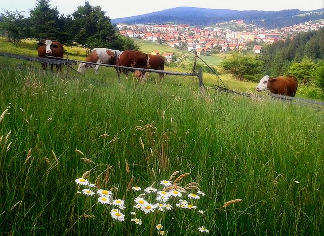 Краве на испаши
