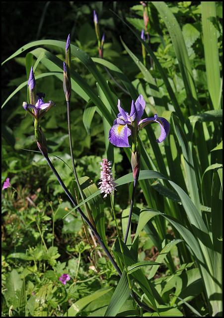 Iris x robusta avec Bistorte (1)