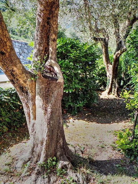 Alte Olivenbäume... ©UdoSm