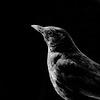 Female Blackbird in Low-Key