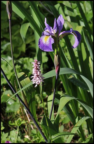 Iris x robusta avec Bistorte (2)