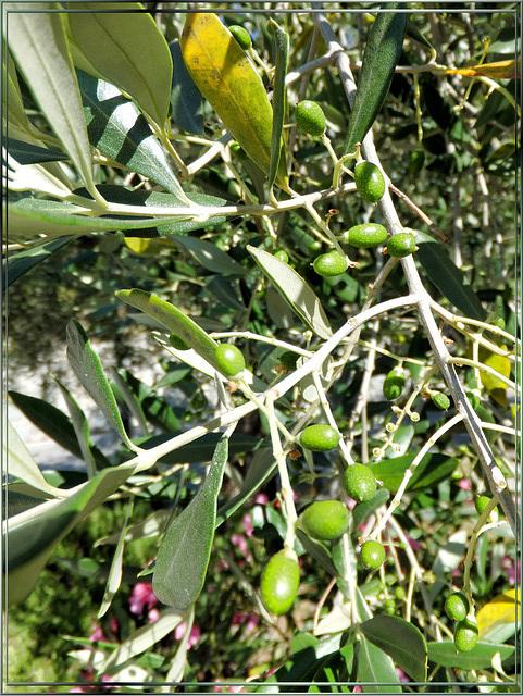 Junge Oliven... ©UdoSm