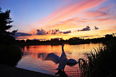Swan Lake Sunset ~ Lynch Lake  ~  Nene Park