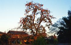 Persimmon tree in the morning sun