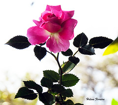 A small rose from my garden.