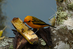 Golden Tanager EF7A5003