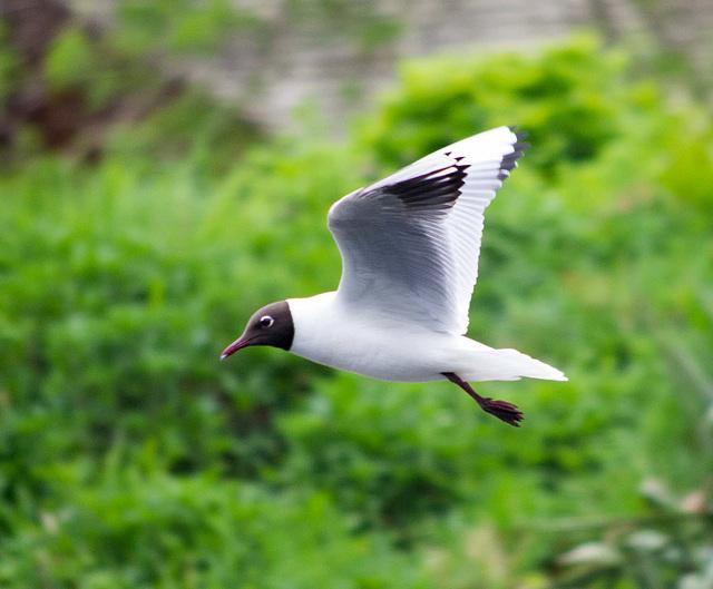 Black headed gull2