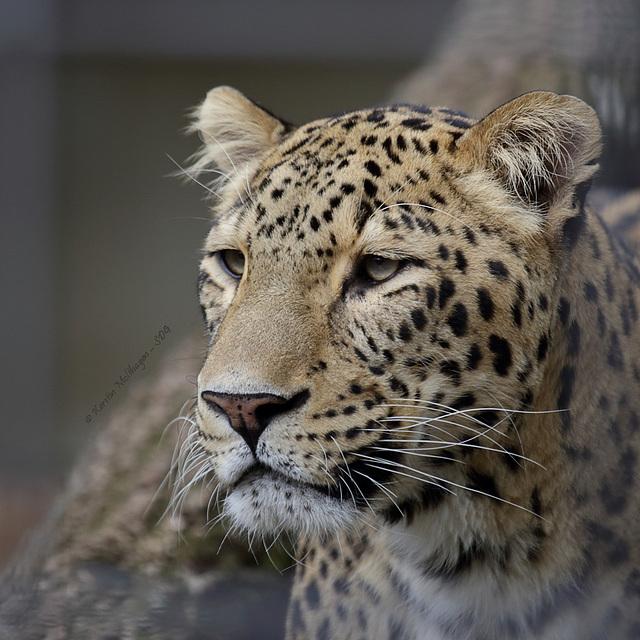 Leopard Aman (Wilhelma)
