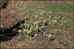 Petasites alba (2)