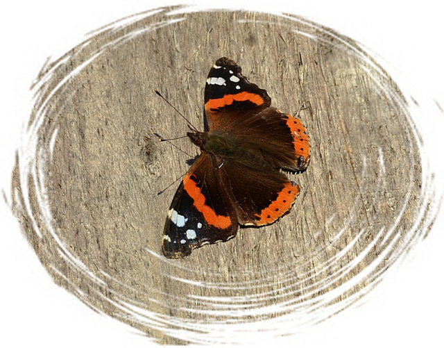 Red Admiral in Winter !!!