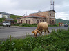 Cow grazing on the roadside.